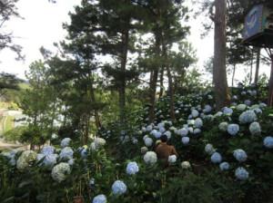 Hoa cẩm tú trong Thung lũng tình yêu