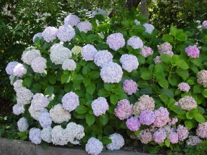 Hoa Cẩm Tú Cầu Trắng trinh nguyên