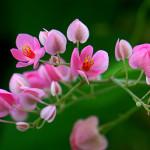 Vẻ đẹp hoa Tigon