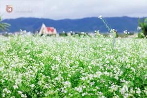 Vẻ đẹp hoa cải mùa xuân